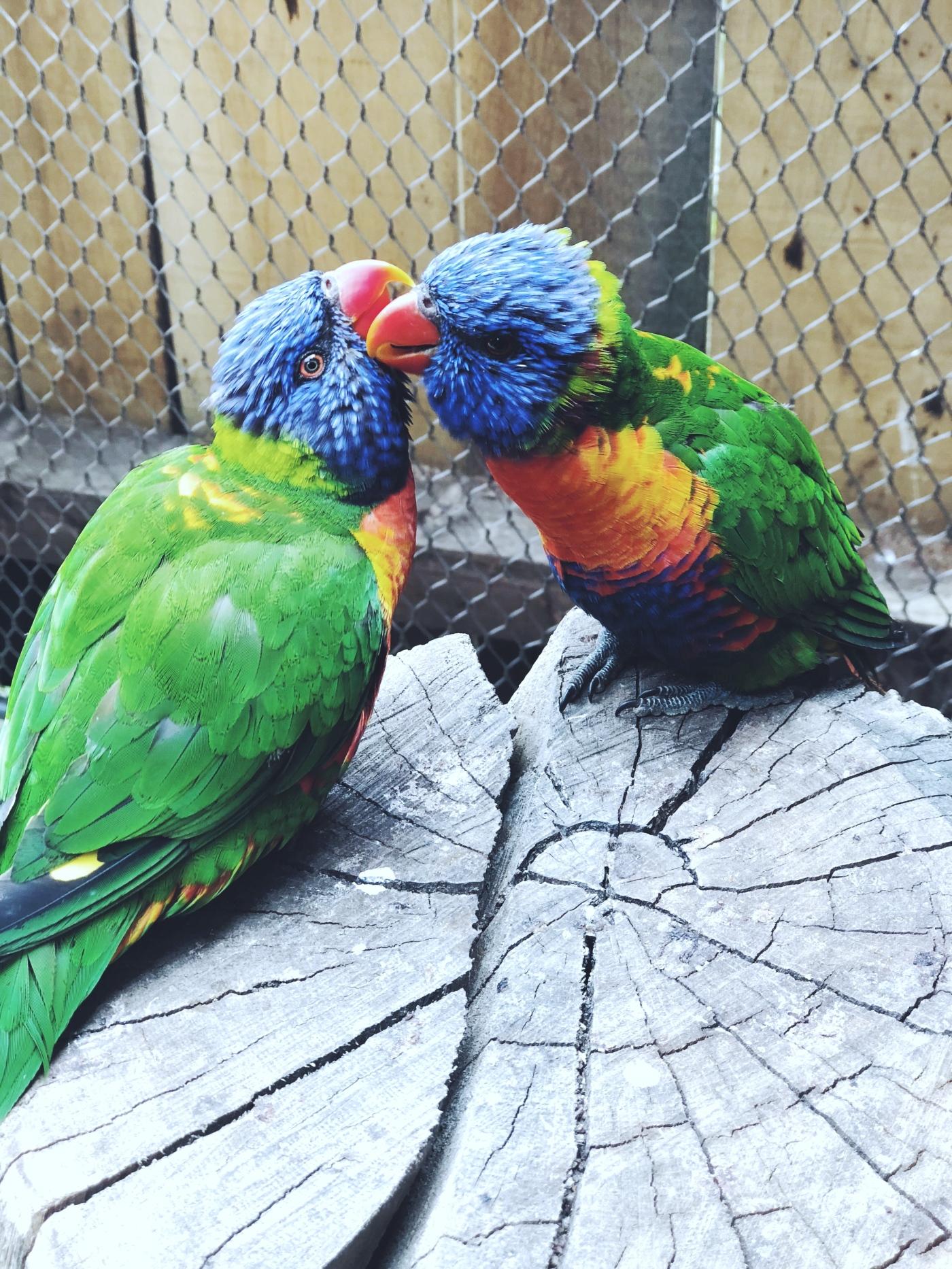 alt-zoo-thoiry-safari-volière-australienne