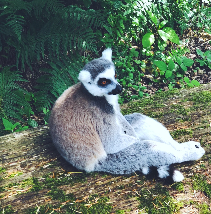 alt-zoo-thoiry-safari-lémurien