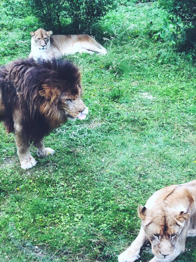 alt-zoo-thoiry-safari-lions